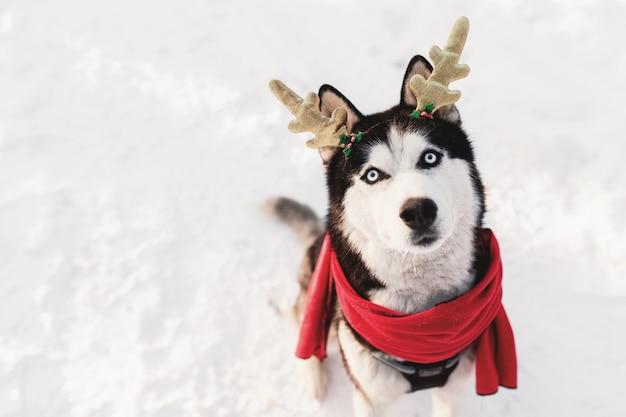 Natale cane husky in sciarpa rossa corna di cervo abbigliamento da babbo natale nella foresta innevata