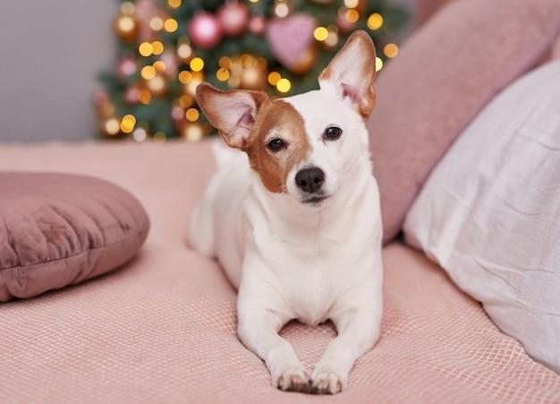 Natale jack russell terrier cane. concetto di hotel per animali.