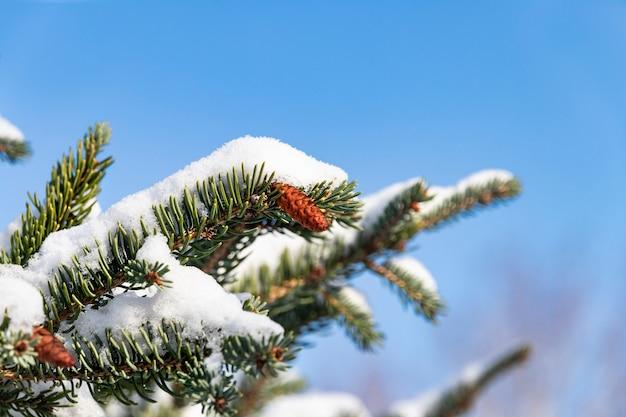 Rami di albero di natale con piccoli coni in inverno