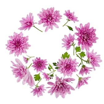 Composizione di fiori di crisantemo. cornice rotonda fatta di fiori rosa su sfondo bianco