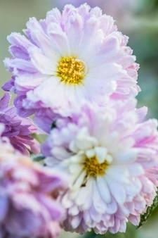 Il crisantemo fiorisce nella brina.
