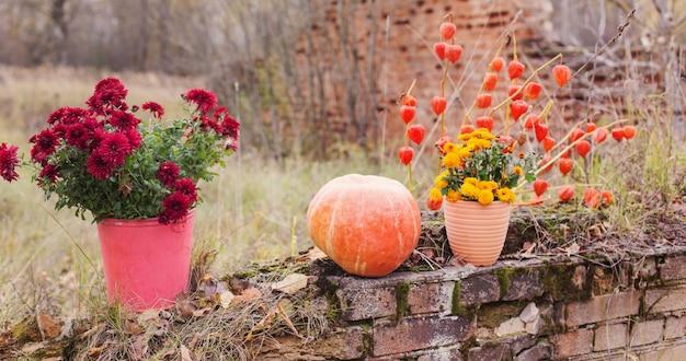 Crisantemo in vasi di fiori e zucche arancioni nei giardini autunnali vicino al vecchio muro di mattoni
