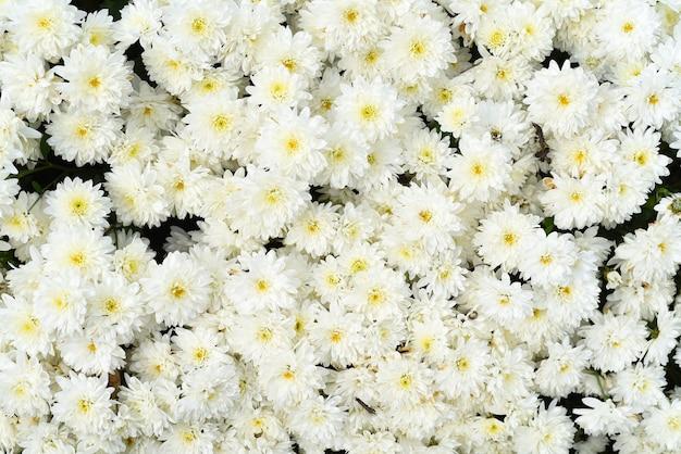 Crisantemo multiflora brandove white su aiuola