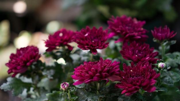 Crisantemo fiore viola in vaso