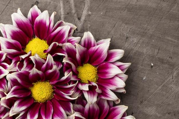 Crisantemi su uno sfondo scuro con copia spazio