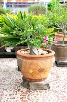 Chuanchom è l'albero fortunato della fede. bellissimi fiori in vaso. oggetto decorativo da giardinaggio.