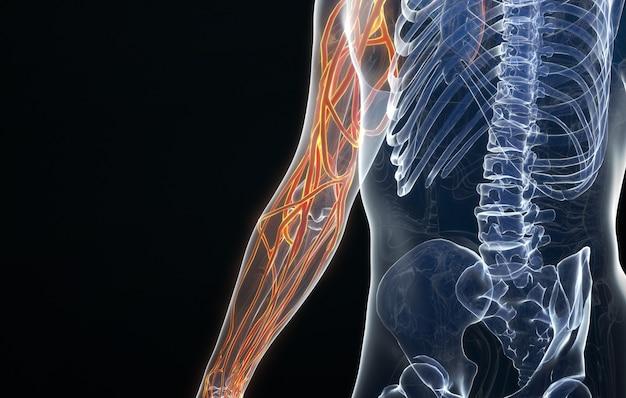 Rendering cinematografico 4d della struttura vascolare del braccio umano