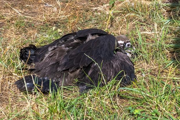 L'avvoltoio cinereo, aegypius monachus, è un grande uccello rapace distribuito in gran parte dell'eurasia temperata