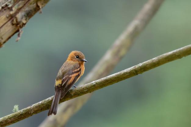 Cannella flycatcher (pyrrhomyias cinnamomeus) bellissimo esemplare appollaiato da solo su alcuni rami nella foresta pluviale. uchubamba - perù