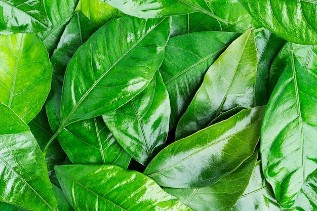 Sfondo di foglie di agrumi.
