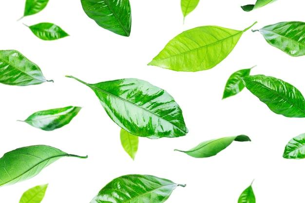 Foglie di agrumi isolati. foglie volanti.