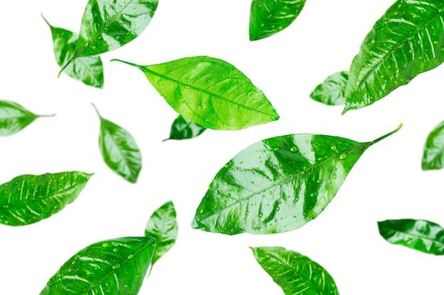 Foglie di agrumi con gocce d'acqua isolate. foglie volanti.