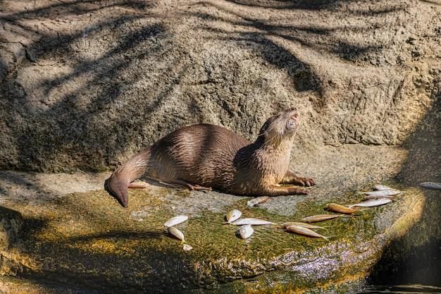 Lontra artigliata che mangia pesce nel mezzogiorno