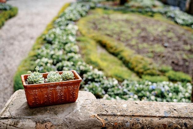 Vaso di terracotta con piante grasse echeveria sullo sfondo di un'aiuola