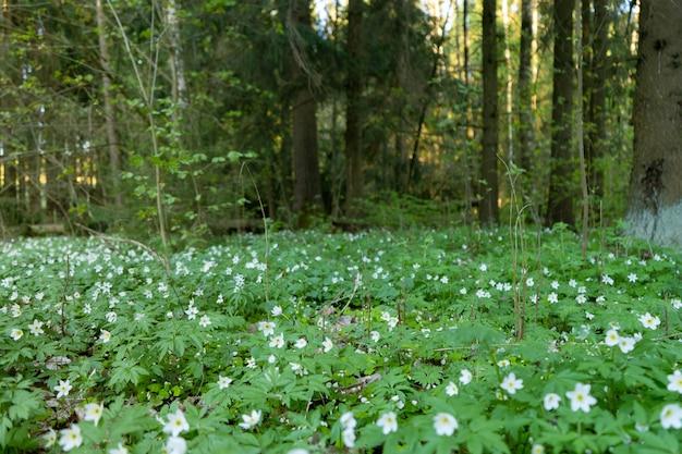Una radura con fiori bianchi di un anemone di legno in fiore nella foresta primaverile