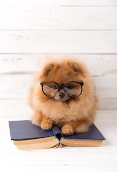 Cane pomeranian intelligente con un libro.