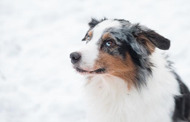 Clever giovane australian shepherd cane merle con occhi di diversi colori seduto nella foresta di inverno