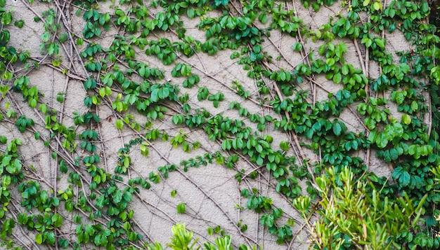 Parete rampicante di edera. su sfondo bianco. edera verde. pianta rampicante rampicante della parete del rampicante che pende dall'alto. viti di edera per la decorazione del giardino