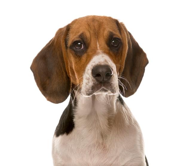 Primo piano di un beagle davanti a un muro bianco