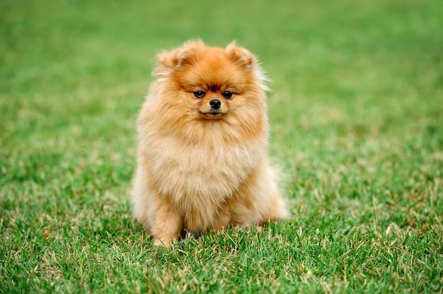 Chiudere il cane pomerania marrone nell'erba verde estiva