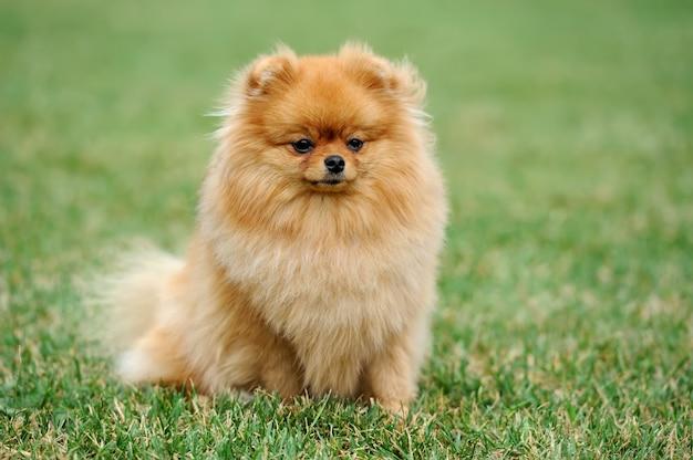 Chiudere marrone cane pomeranian in erba verde estate