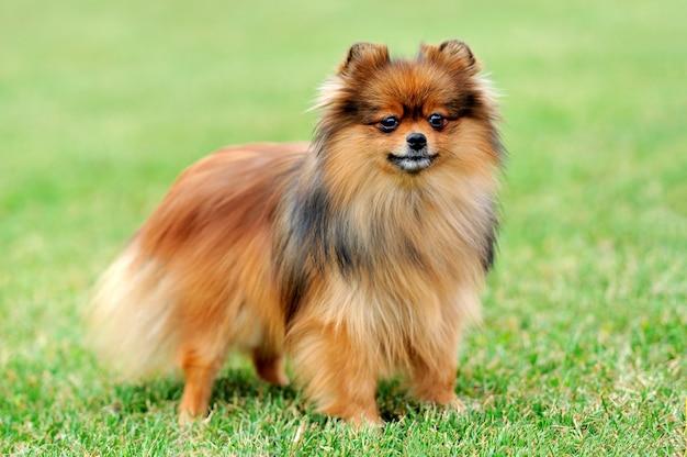 Chiudere marrone cane pomerania in erba verde estate