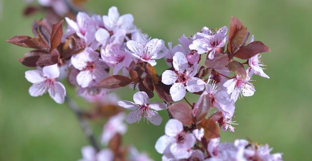 Chiudere sui fiori di un albero di prunus ornamentale che fiorisce in primavera