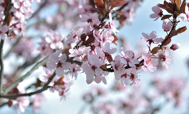 Chiudere sui fiori di un albero di prunus ornamentale