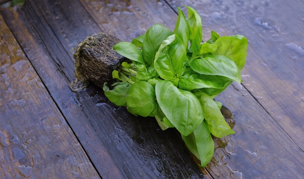 Chiudere la pianta basilico fresca nella sporcizia sulla plancia bagnata
