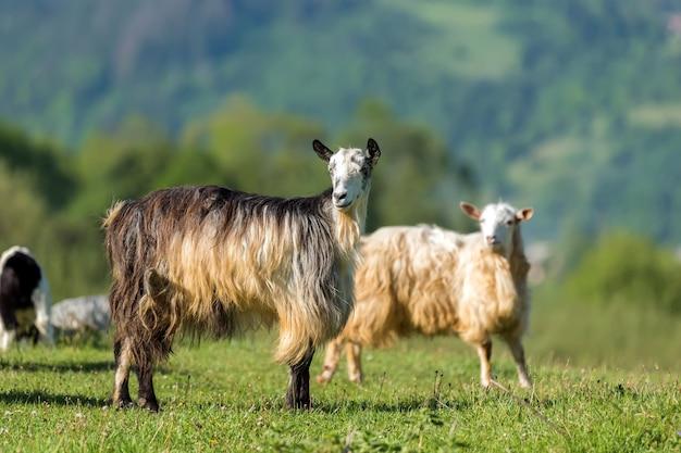 Chiudere il gregge di capre sul verde prato estivo