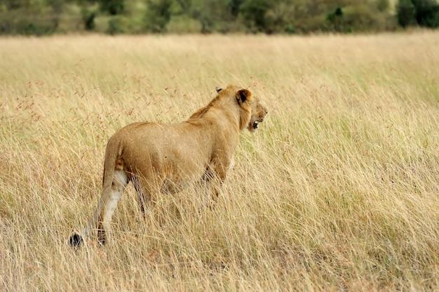 Chiudere il leone nel parco nazionale del kenya, africa