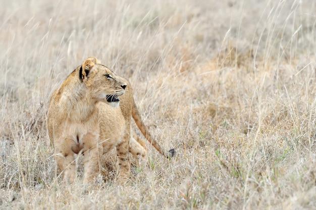 Chiudere il leone nel parco nazionale del kenya