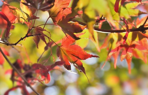 Primo piano sulle foglie rosse dell'acero giapponese in autunno