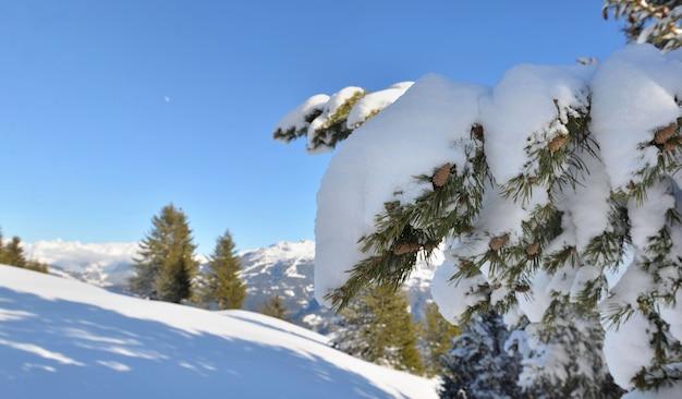 Chiudere sulla neve ha coperto un ramo di abete davanti a una montagna dalle vette innevate sotto il cielo blu
