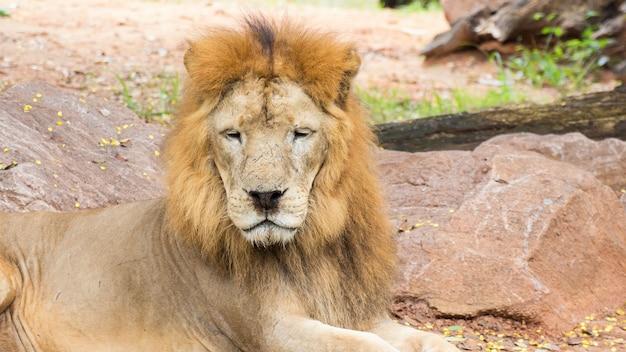 Chiuda sul leone africano che fissa nella natura