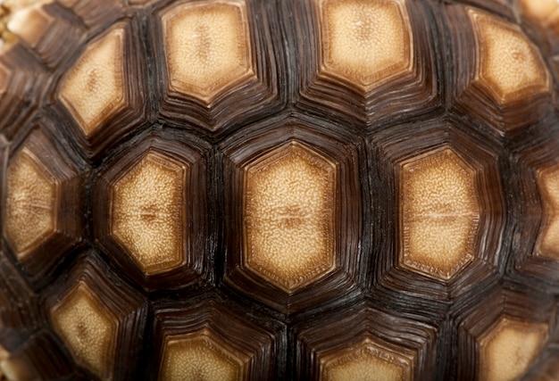 Primo piano di guscio di tartaruga speronato africano, geochelone sulcata, 1 anno di età