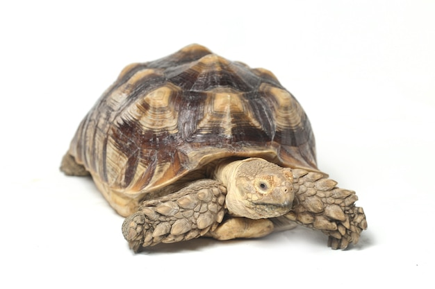 Primo piano della tartaruga stimolata africana