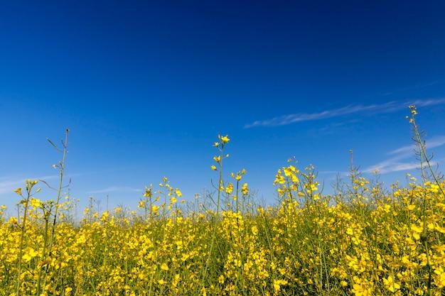 Vicino nel fiore di colza campo agricolo