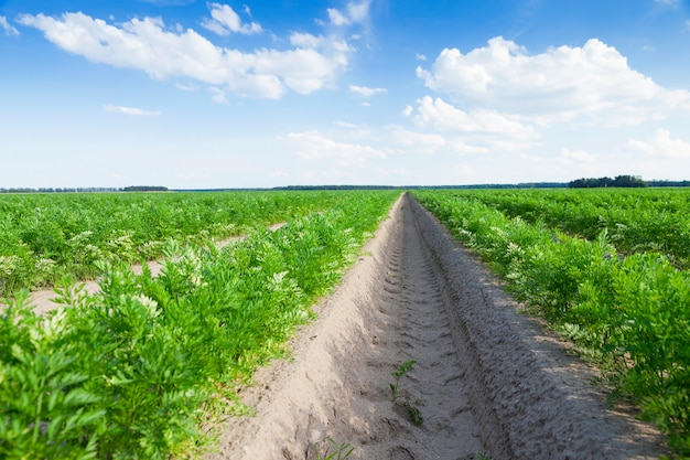 Primo piano di un campo agricolo su cui crescono i germogli verdi di carote