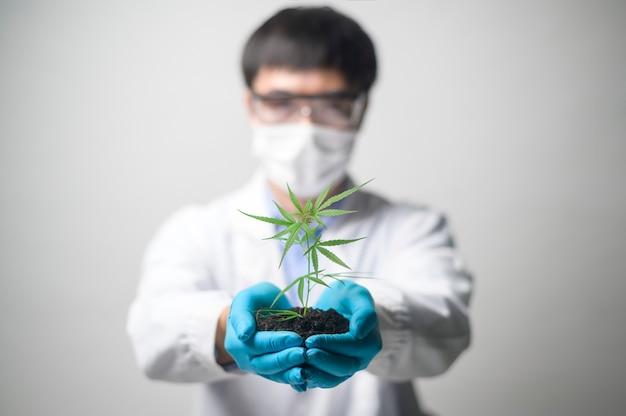 Primo piano delle mani dello scienziato agronomo che tengono una piantina di piante di canapa di cannabis utilizzate per prodotti farmaceutici a base di erbe