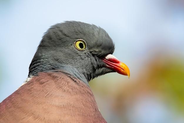 Close-up di avviso comune colombaccio, columba palumbus, guardando alla telecamera nella natura estiva. attento uccello selvatico con piume blu e grigie nella composizione orizzontale dettagliata.