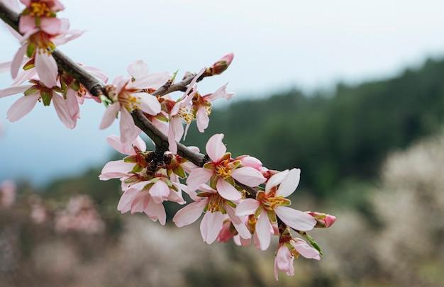 Primo piano del fiore di mandorla. fiori in primavera
