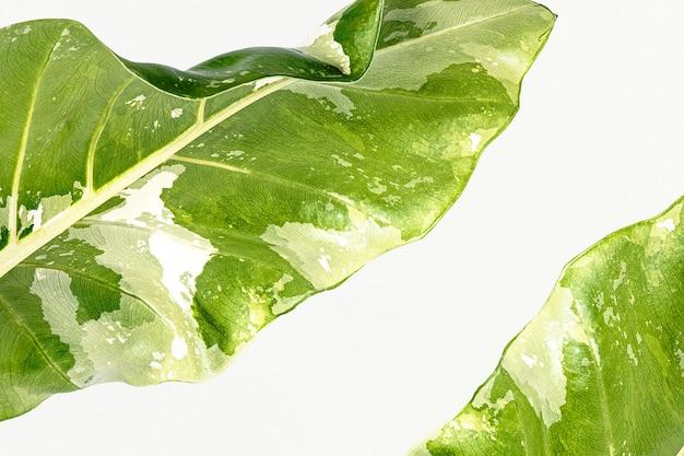 Primo piano di foglie di alocasia su sfondo bianco
