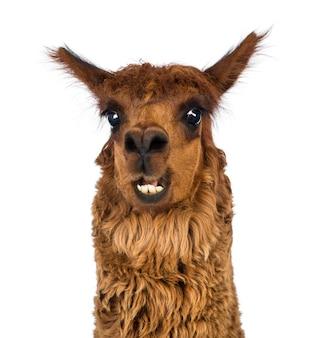 Close-up di alpaca sorridente