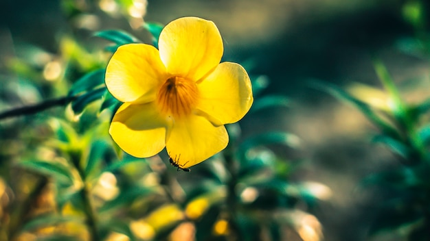 Chiuda in su delle formiche che cercano l'alimento all'interno del fiore giallo