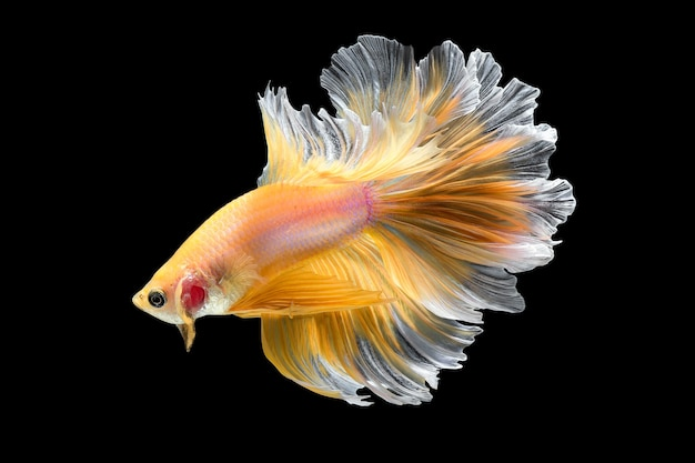 Primo piano, arte, movimento, di, betta, fish, siamese, fighting fish, isolato, su, nero, fondo., raffinata arte, design, concept
