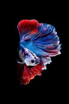 Chiudere il movimento artistico del pesce betta o pesce combattente siamese isolato su priorità bassa nera