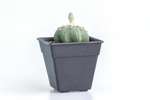 Chiuda sul cactus delle asterie di astrophytum sull'isolato nero del vaso su bianco.