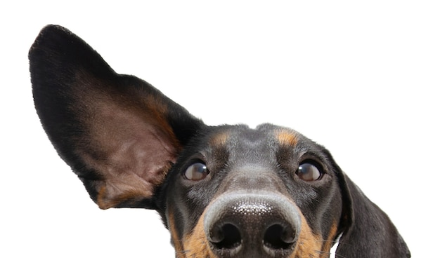 Cane bassotto attento e in ascolto del primo piano con un orecchio in su. isolato.