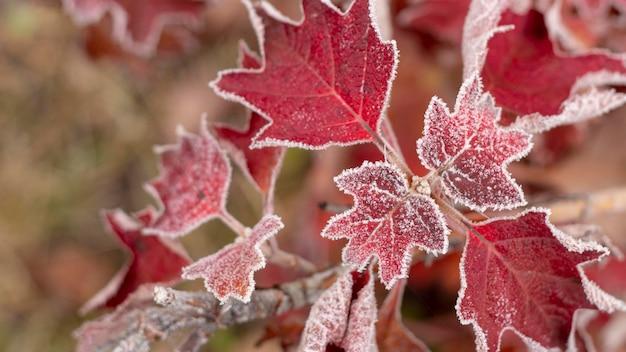 Primo piano di foglie di crespino ricoperte di brina mattutina